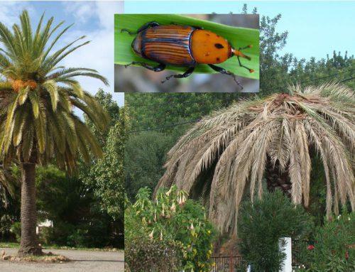 Escaravelho da Palmeira