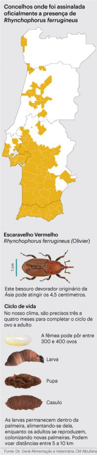 escaravelho da palmeira disseminação