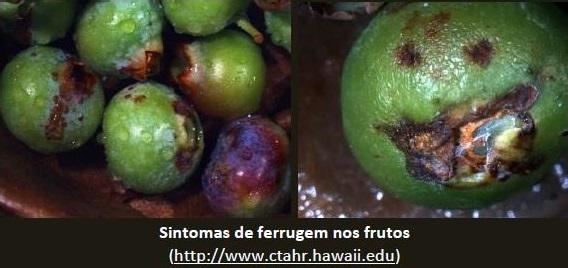 Phosphorland doenças mirtilo ferrugem