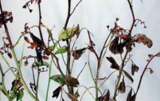 phosphorland doencas mirtilo phomopsis sp