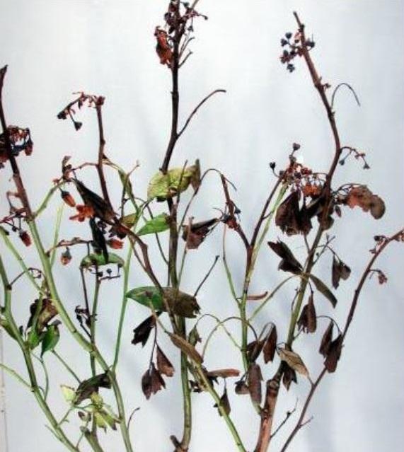 Phomopsis sp.
