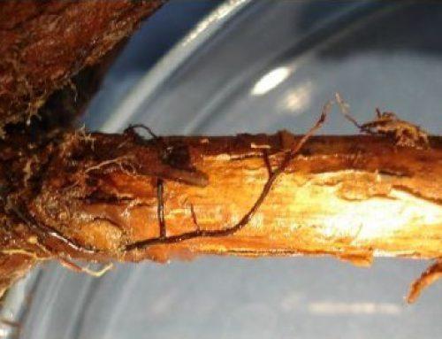 Podridão Agárica (Armillaria spp.)