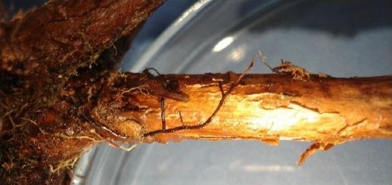 phosphorland doencas mirtilo podridao agarica armillaria spp