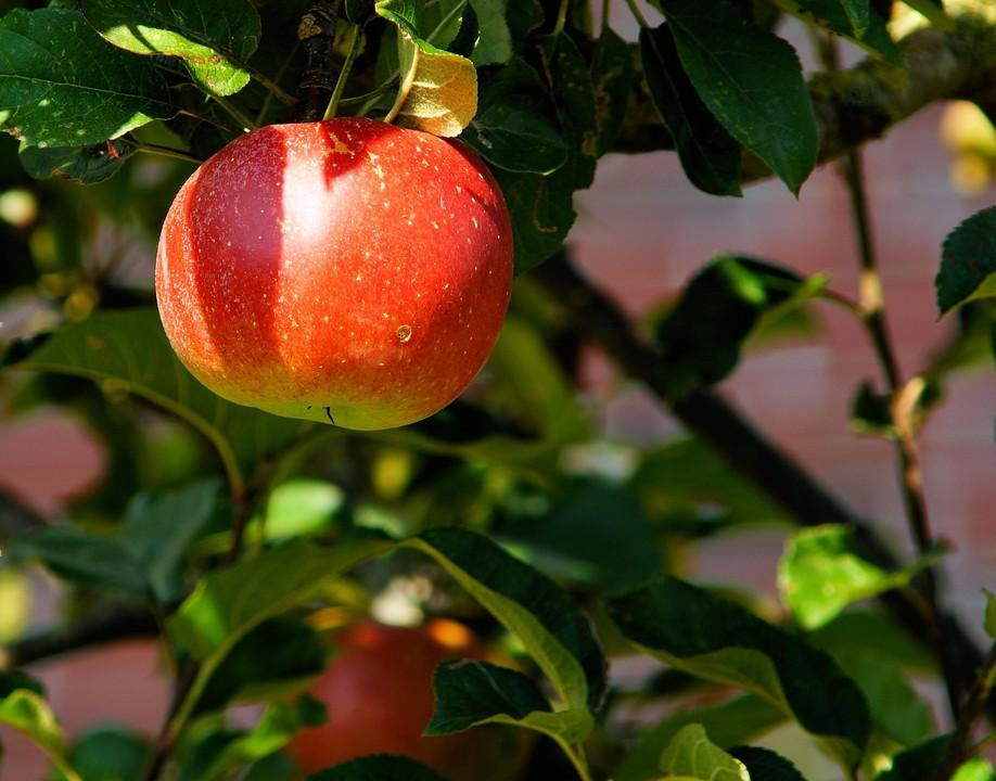 A altura certa para colher as maçãs!