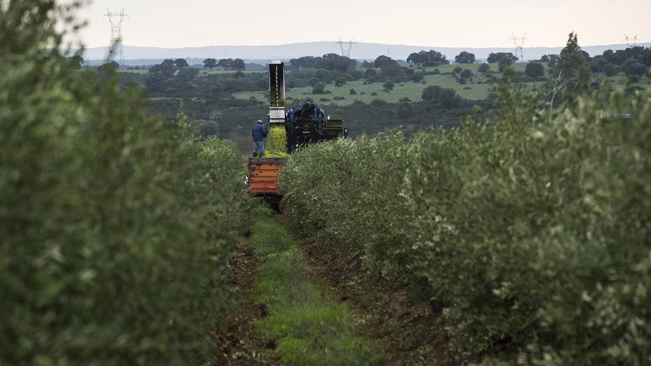 Apanha e colheita da azeitona