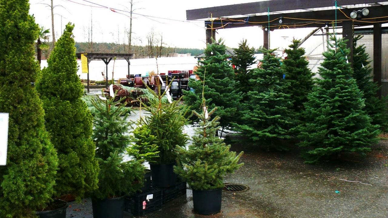 Árvore de Natal, verdadeira ou artificial?