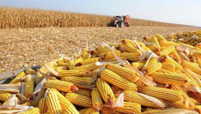 Produtores de milho adaptaram-se às alterações climáticas