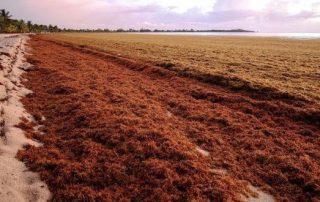 phosphorland jornal demo sargaco com potencial na agricultura