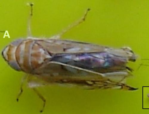Flavescência Dourada (Grapvine flavescence dorée phytoplasma)